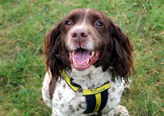 Bruno is a beautiful Spaniel who loves people