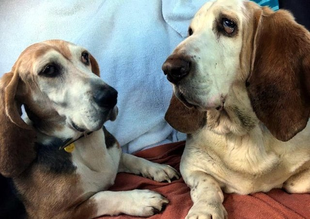 Bassett Hounds Daisy and Bert came to Dogs Trust Ballymena are very attached to each other and are looking for a  home together