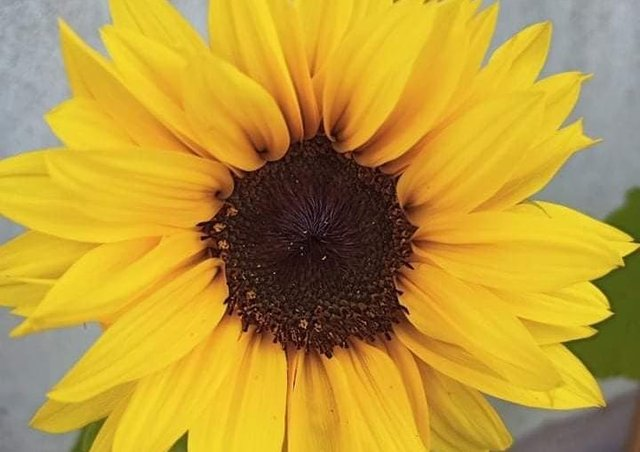 One of Amelia and Tomas' sunflowers from last year.