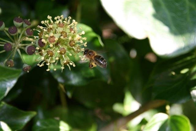 The native little Irish honey bee.