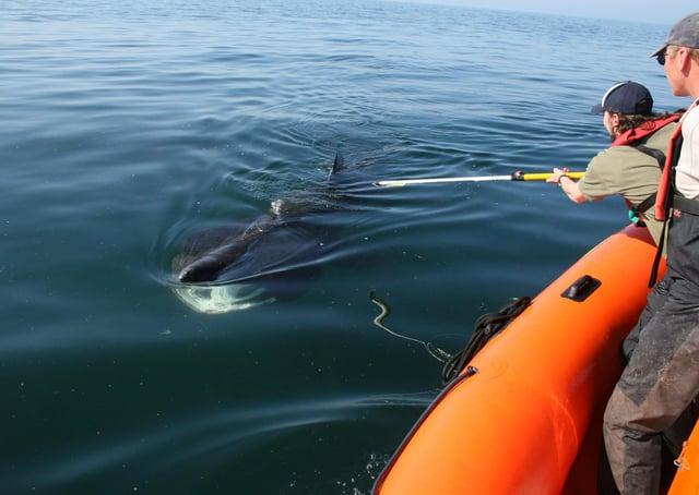 A Basking Shark being tagging off Malin Head a few years ago.