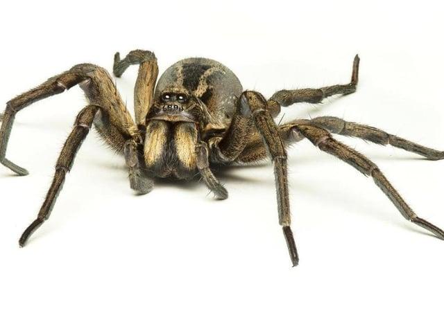 A false widow spider. (Stock Image)