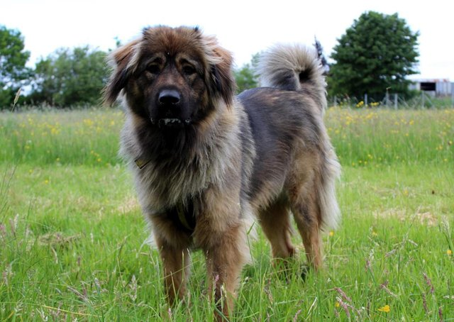 One-year-old Caucasian Shepherd  Freya absolutely loves playing with her toys